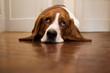 roleta: Basset hound rolling its eyes