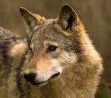 Fototapeta ssak - zwierzę - Dziki Ssak