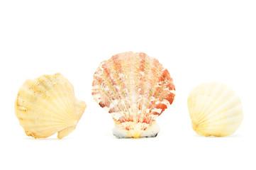 Three seashells on white background