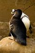 Kissing Penguins sitting on a big rock.