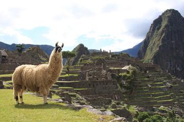 Llama and the Ruins at Machu Picchu, the Lost Inca City, Peru