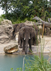 Two Elephants by Stream