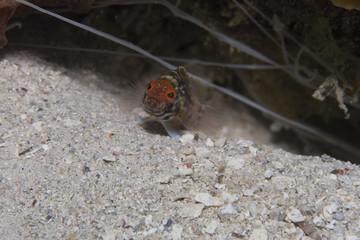 Lantern Bass (Serranus baldwini)