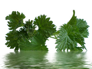 nettle brunch in water