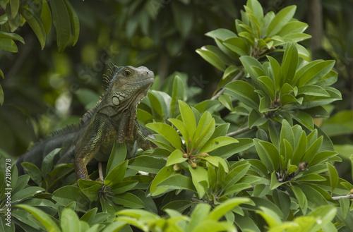 Deurstickers Vlinder Iguane Vert de Colombie