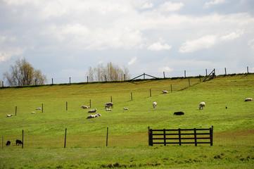 Sheep on a dyke