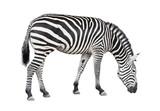 Zebra cutout poster