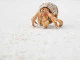 Big Hermit Crab poster