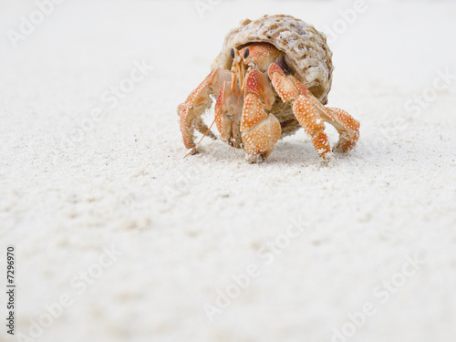 Big Hermit Crab