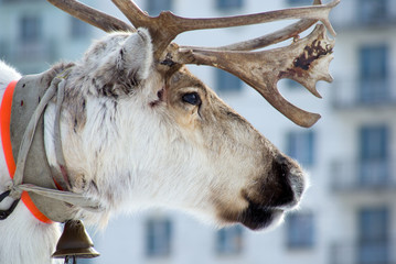 reindeer and city