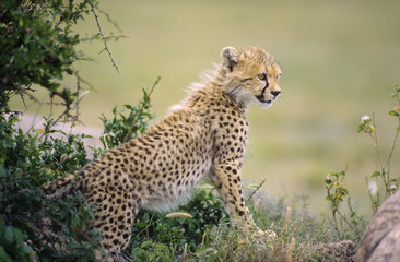 Africa-Cheetah cub