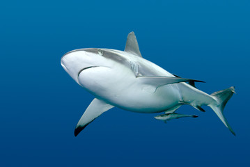 Shark with Remora swimming underwater