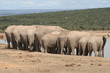 Elephant herd with tails hanging and drinking water together.