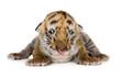 Quadro Tiger cub (4 days)