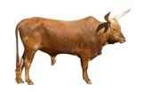 Watusi bull cutout poster