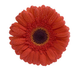 Gerbera flower covered with dew (concept: fresh as a daisy)