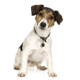 Jack russell (4 years) poster