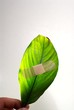 A band aid on a green leaf on white background.