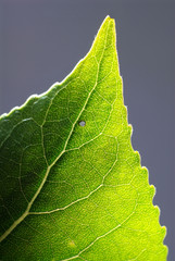 Close up macro of a leaf backlit.