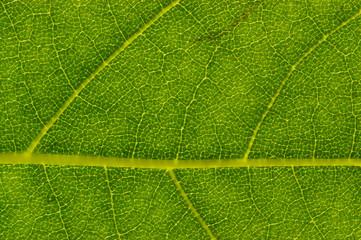London Planetree (Platanus acerifolia) Leaf Detail
