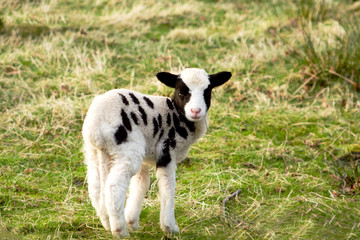 Jacob's Lamb