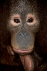 endangered primate orangutan