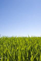 beatiful green grass and blue sky