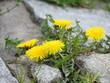 yellow dandelions among grey stones
