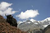 wild yak in himalayas, annapurna, nepal poster