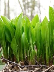Spring Hostas