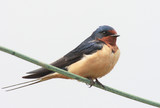 Barn Swallow (Hirundo rustica) perched on a wire poster