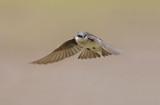 Tree Swallow (tachycineta bicolor) in flight poster