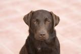 Shot of a Labrador Retriever Looking Straight Into Camera poster
