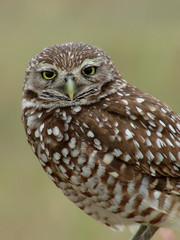 burrowing owl closeup