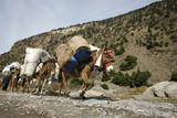 donkeys carrying heavy loads, annapurna, nepal poster