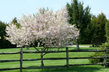 Tree blooming near a fence