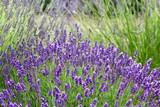 Lavender farm in Sequim, Olympic peninsula, Washington poster