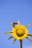 Shot of a Ladybird Walking across a Yellow Flower poster