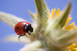 Shot of a Ladybird on a Yellow Flower against a Blue Sky poster
