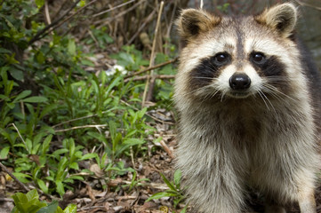 Background,racoon