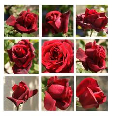 planche de roses rouges