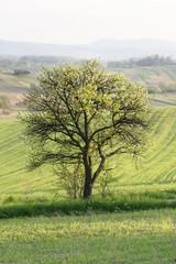 tree aple