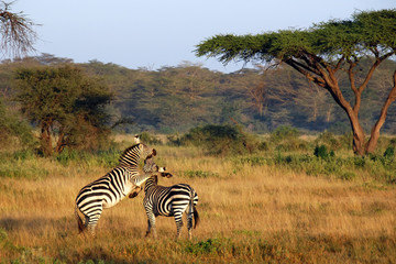 Two zebras playing around