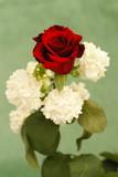 rose rouge au dessus de lilas blancs poster
