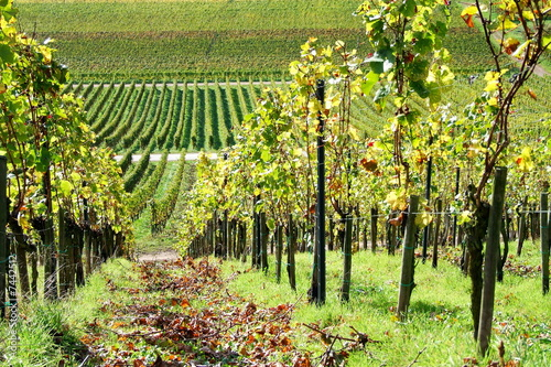 Foto op Canvas Wijngaard grüner Weingarten im Oktober