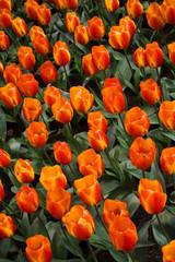 Flair Tulip