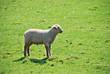 Lamm auf grüner Weide