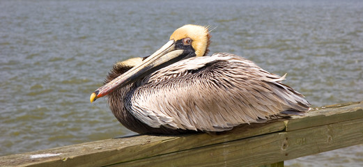 Yellow Head Pelican on Pier