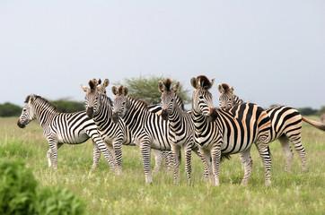Herd Burchell's zebras