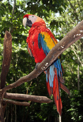 Scarlet macaw sitting on branch